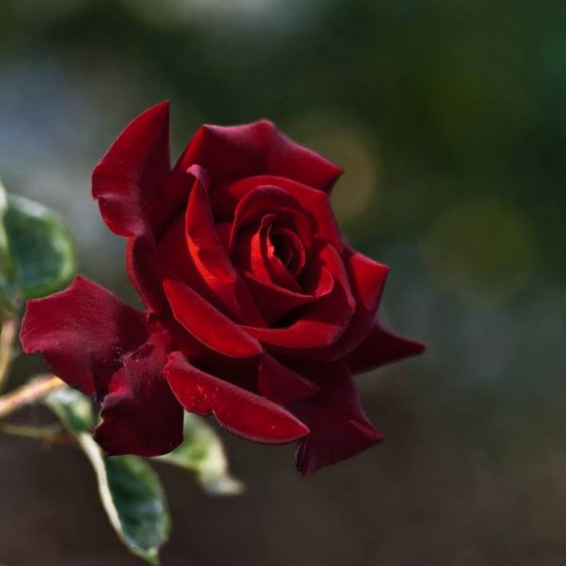 Stock Delivery Free Best Dark Red Color Rose Flowers Images Wallpapers
