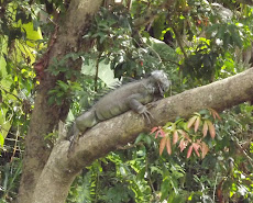 Iguana in tree over the Sarapiqui River