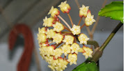 hoya finlaysonii V
