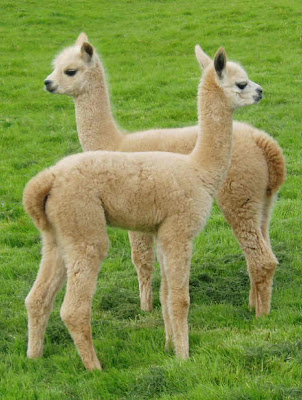 alpaca a lovely and cute animal the wildlife. Black Bedroom Furniture Sets. Home Design Ideas