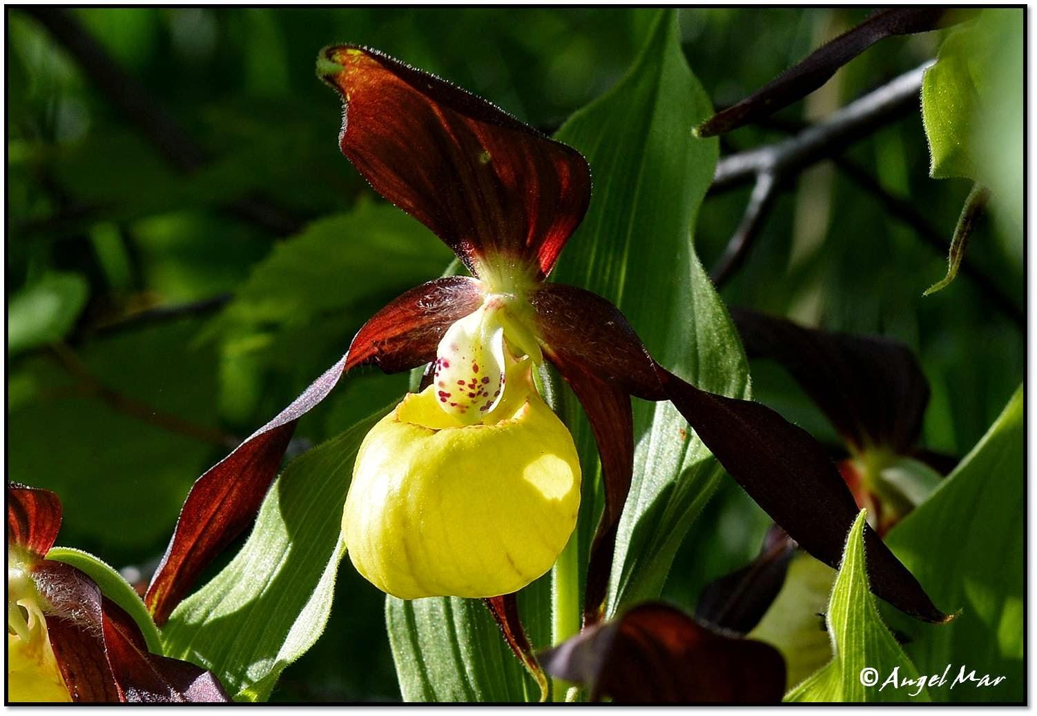 Está incluida en la Lista Roja de la Flora Vascular Española, en el Catálogo de Especies Amenazadas de Aragón y en algunos Anexos de la Directiva 92/43 de