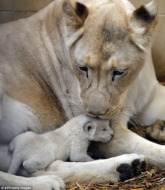White Wolf : Newborn white lion triplets take their first ...