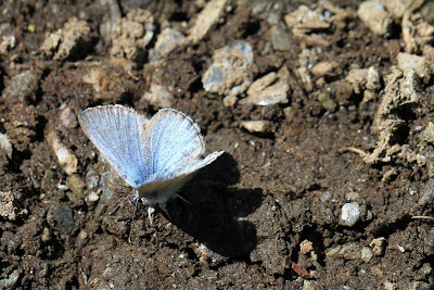 Getting Nutrients in the Mud – Likely a Silvery Blue
