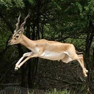 cervicapra saltando