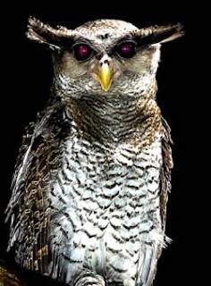 Foto Barred Owl Eagle