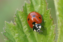 Ladybug on Dewberry