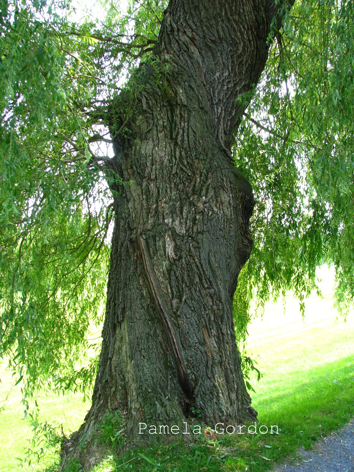 weeping willow tree Introduction one of the most popular bonsai trees is the weeping willow this tree is well-known for its drooping branches, leaves, and flowers.