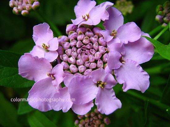 Iberis umbellata flower picture