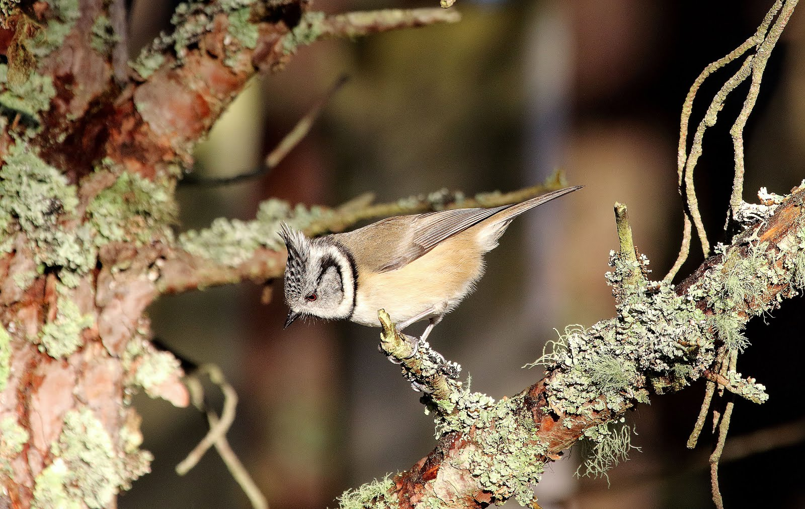 2015 Bird of the Month - November