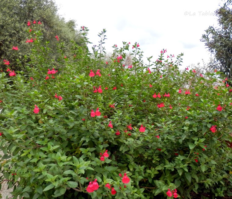 salvia microphylla rojo carmes para la salvia microphylla