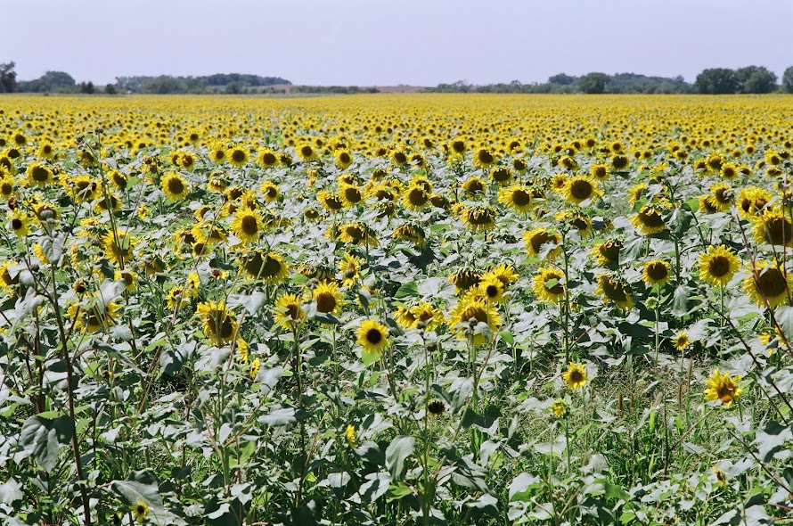 Sea of yellow impresses motorists north of Morris MN