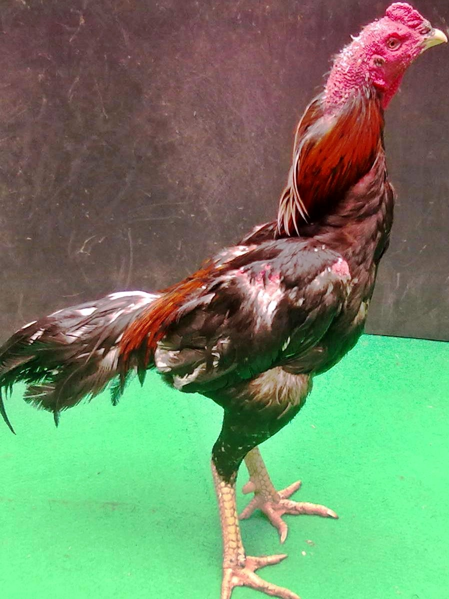 www katuranggan ayam bangkok com