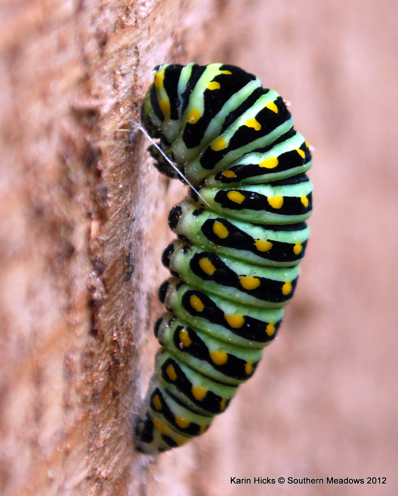 Southern Meadows: A Close Look at the Black Swallowtail ... Black Swallowtail Caterpillar