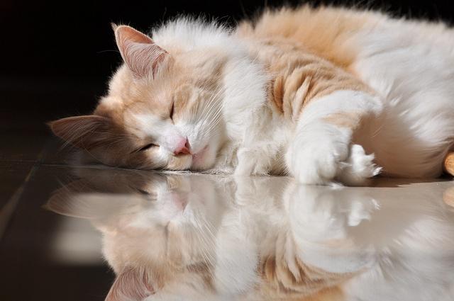 Health Problems in Turkish Angora Cat