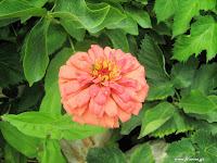 Ζίννια σπορά φύτεμα καλλιέργεια
