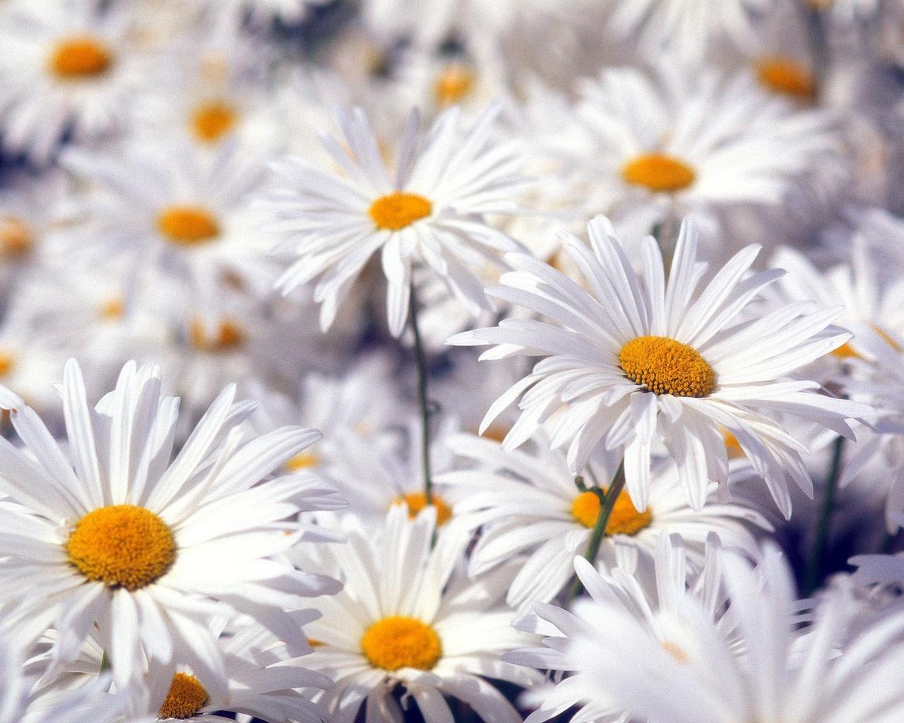 Hd Photo Gallery Beautyfull Flower Walpaper 100high 43