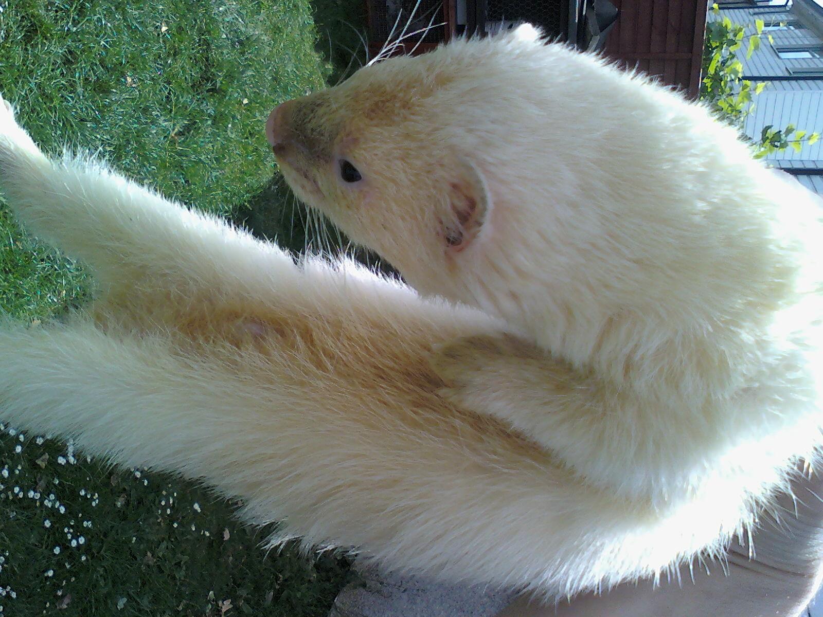 Black Eyed White Ferret