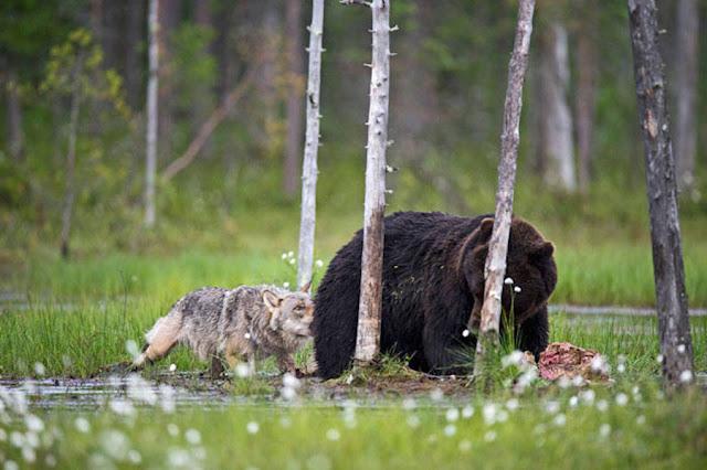 amistad entre lobo y oso