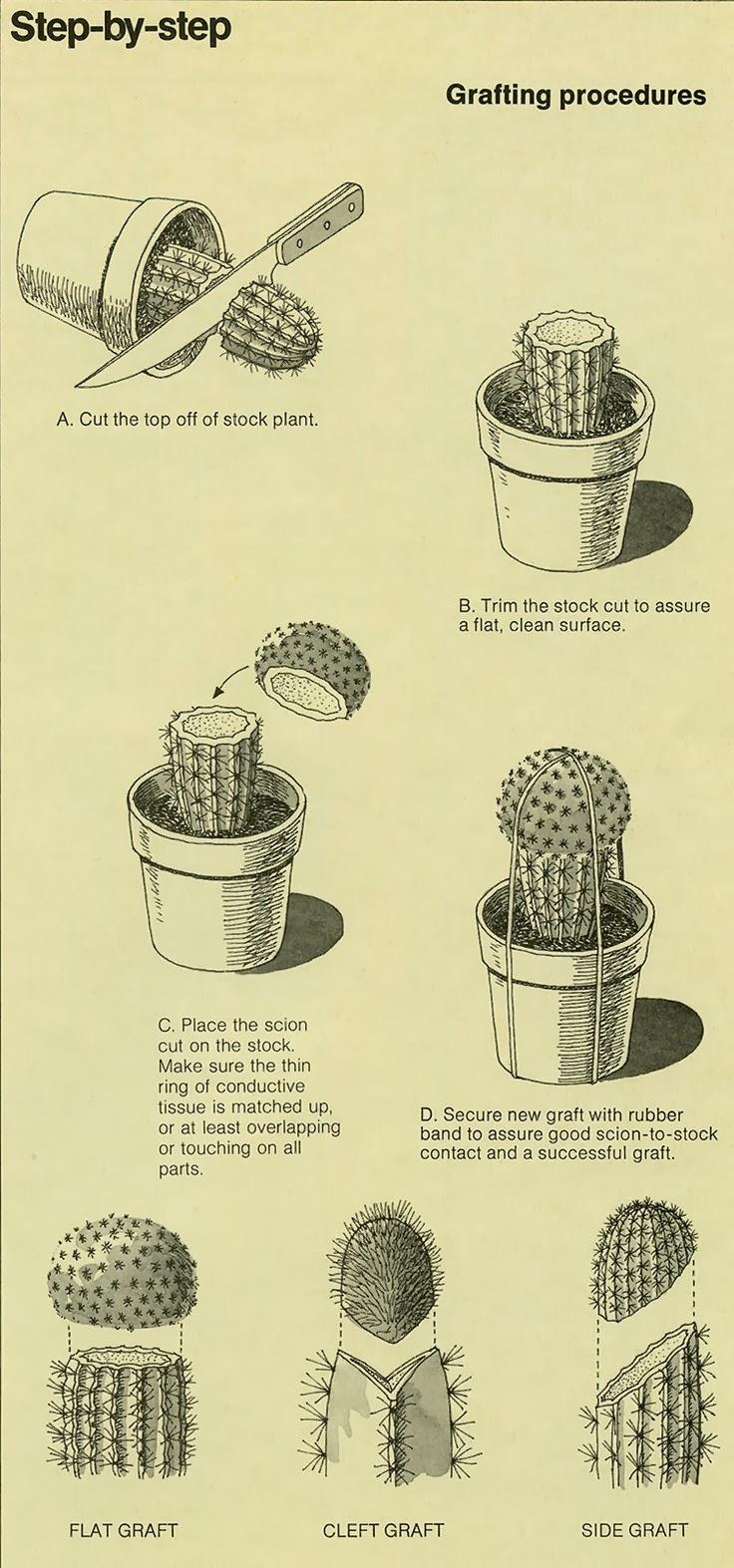 Kaktusi kalemljenje