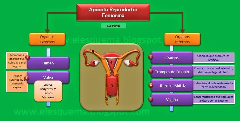 Aparato Reproductor Femenino | Esquemas, diagramas, gráficos y mapas ...