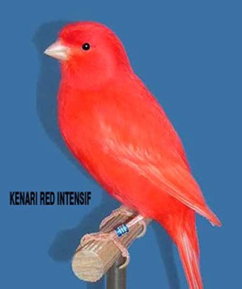 kenari merah atau disebut juga dengan kenari red intensif adalah ...