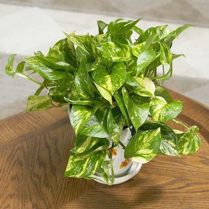 Golden Pothos Desk Plant