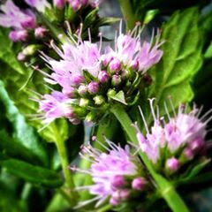 fresh mint, garden, mint flowers, fresh herbs, gardening,