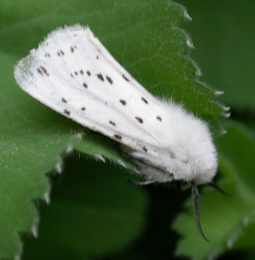 Go Back > Gallery For > White Moth Identification
