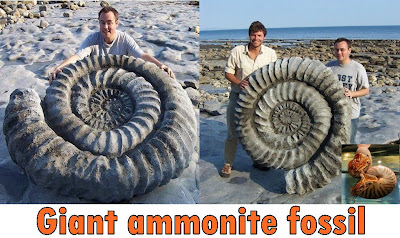 Giant ammonite fossil on the Jurassic Coast in Dorset, England