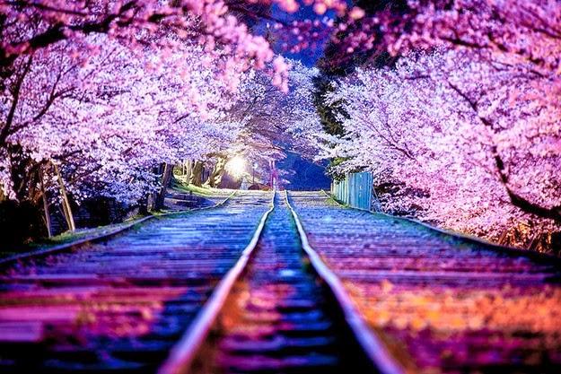 sakura blossom2