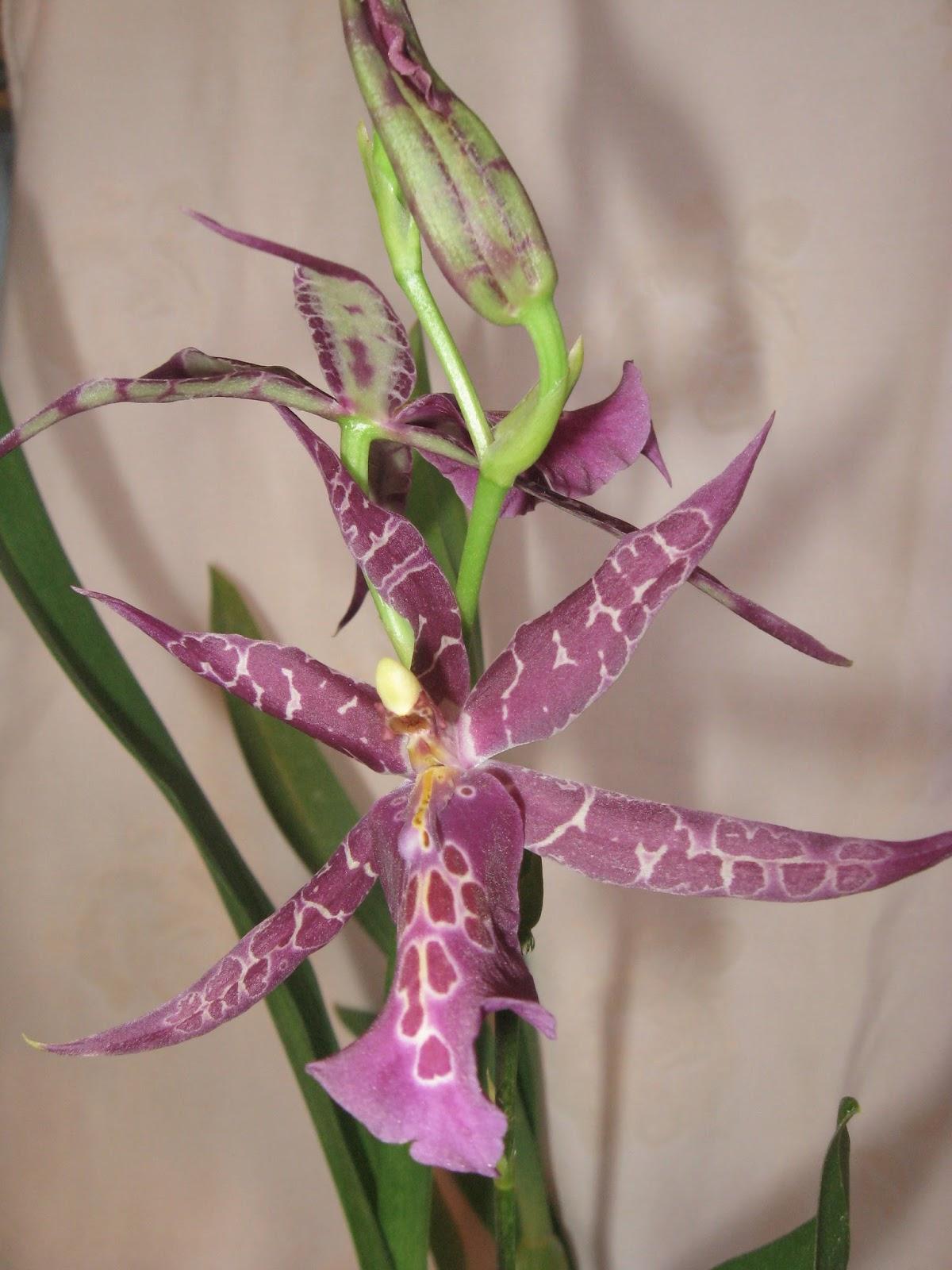Miltassia Sadie Loo x Miltonidium Christmas Eve. Цветы орхидеи