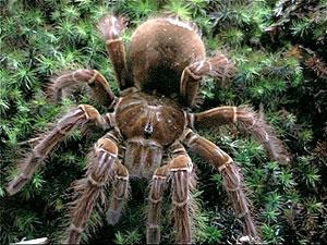 Le saviez-vous?La plus grande araignée du monde Theraphosa-blondi-goliath-bird-eater