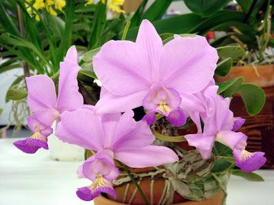 Cattleya Nobilior Orchids Flower