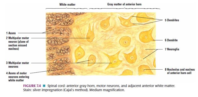 Histologi:Jaringan Saraf (Nervous Tissue)