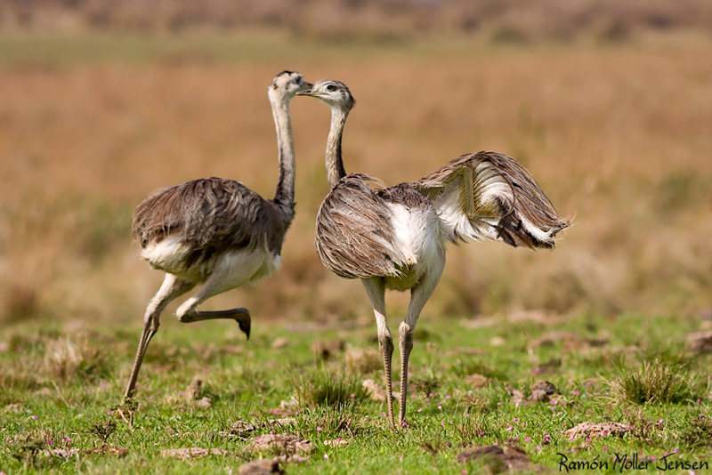 Pictures Of Greater Rhea - Free Greater Rhea pictures