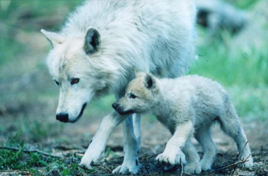 White Wolf : 17 Beautiful Photos of Animal Moms With Their ... - photo#31