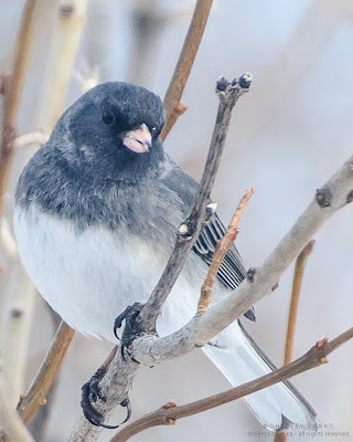 Dark-eyed Junco, back in Regina, SK. photo © Shelley Banks; all rights reserved.