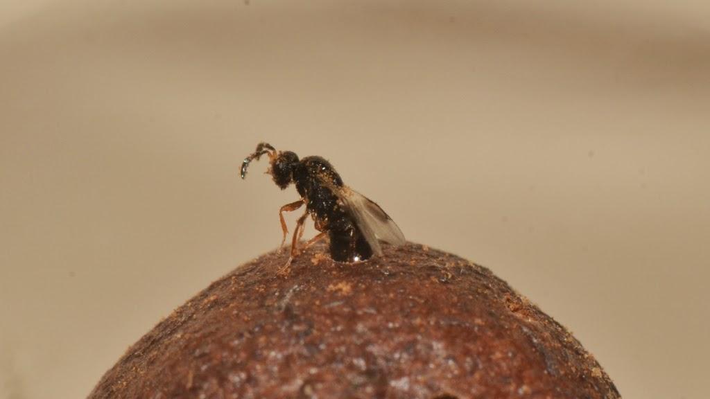emerging Blueberry Stem Gall Wasp - Hemadas nubilipennis