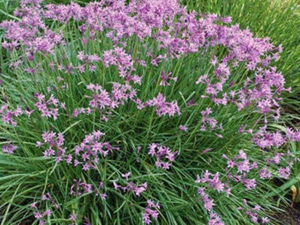 Il giardino delle naiadi aroma pungente tulbaghia violacea for Aglio pianta