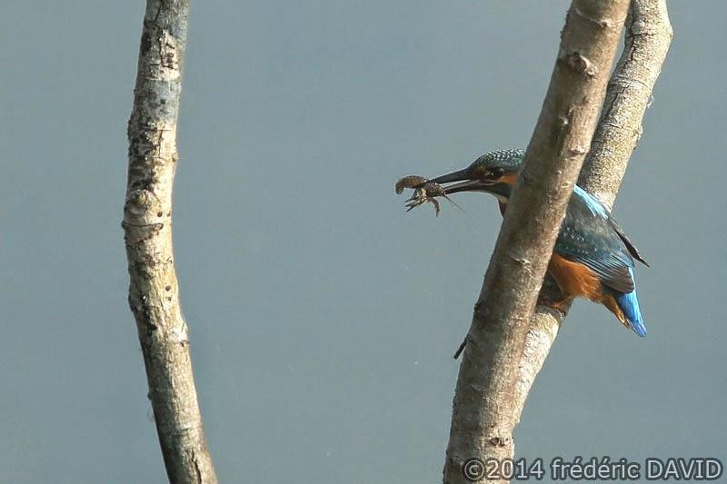 nature oiseau martin pêcheur écrevisse Sorques Seine-et-Marne