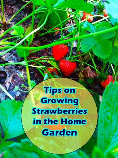 Tips on growing strawberries in the home garden