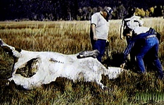 การชำแหละวัวโดยมนุษย์