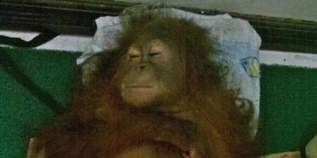 Kematian Jack, Potret Kejahatan Terhadap Orangutan