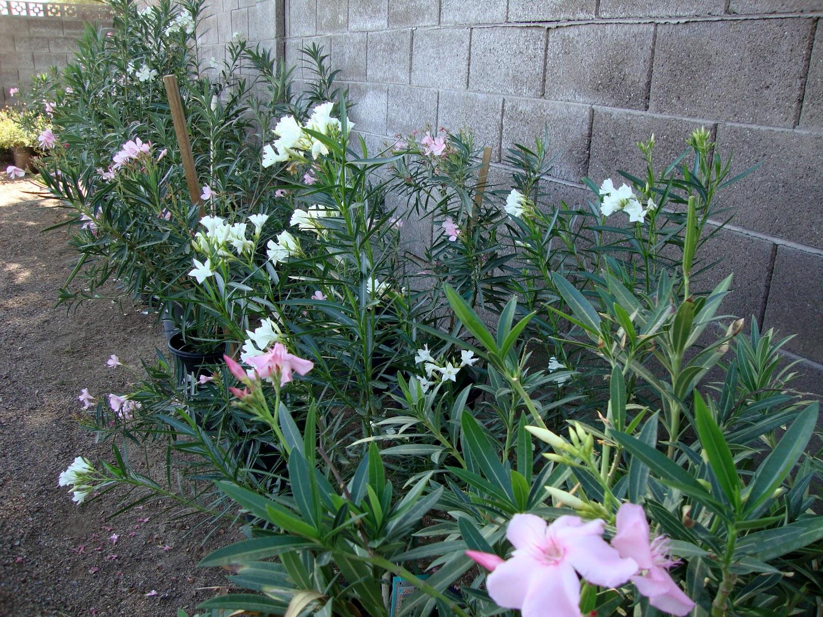 danger garden: Desert Gardens Nursery, Phoenix, AZ...