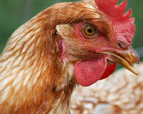 Waspadai Penyakit  Ayam Ini Terhadap Manusia