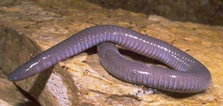 Pink Dermophis mexicanus caecilian