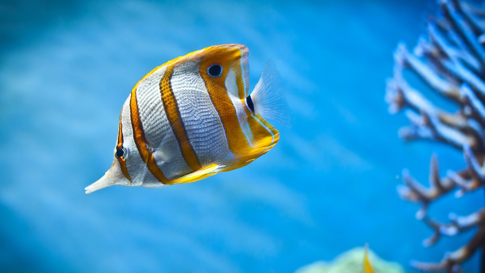 Wallpaper iphone cupang - Beautiful Fish Pictures Wallpaper