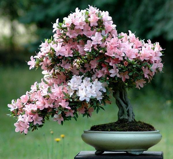 Manzano bonsai reproduccion asexual de las plantas