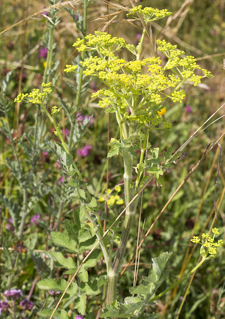 Wild Parsnip, Pastinaca sativa.  Hutchinson's Bank, 21 July 2015.