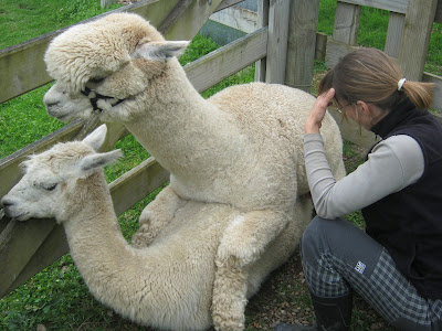 alpaca mating video stud male alpaca named viscount mating a female in ...